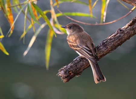 tyrant: Eastern Phoebe bird perching on a branch by a lake in Maryland during the summer