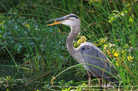 Great Blue Heron hunting in a lake in Maryland during the summer photo