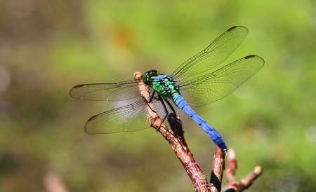 Male Eastern Pondhawk dragonfly resting on a twig in Maryland during the summer Stock Photo - 15118195