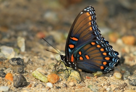 admiral: Red Spotted Purple butterfly mud puddling for minerals by a lake in Maryland during the summer