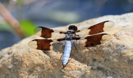 pruinescence: Male Common Whitetail dragonfly resting on a rock by a lake in Maryland during the summer