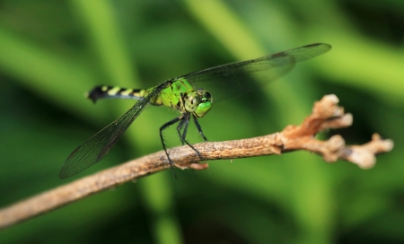 Female Eastern Pondhawk dragonfly resting on a twig in Maryland during the summer Stock Photo - 15347808