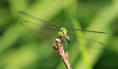 Female Eastern Pondhawk dragonfly resting on a twig in Maryland during the summer Stock Photo - 15347818
