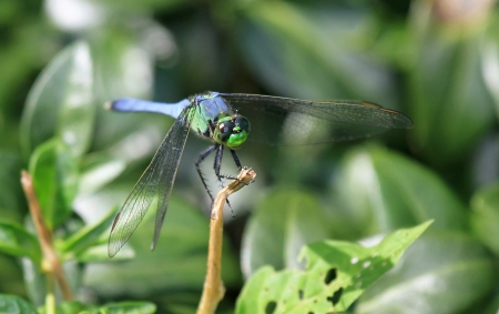 pruinescence: Male Eastern Pondhawk dragonfly resting on a twig in Maryland during the summer