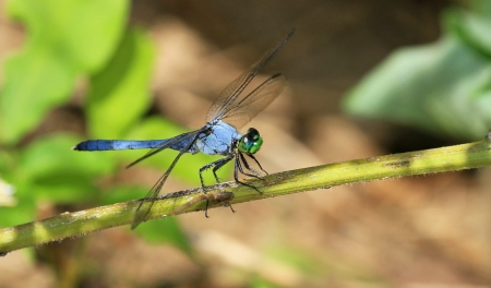 erythemis: Male Eastern Pondhawk dragonfly resting on a plant stem in Maryland during the summer