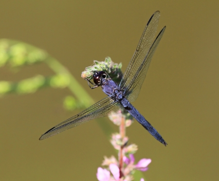 pruinescence: Slaty Skimmer dragonfly sitting on a wildflower stem in Maryland during the summer