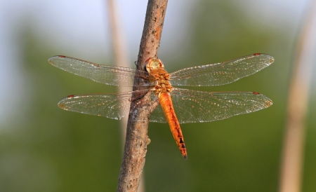 odonatology: Wandering Glider dragonfly sitting on a branch by a lake in Maryland during the summer Stock Photo