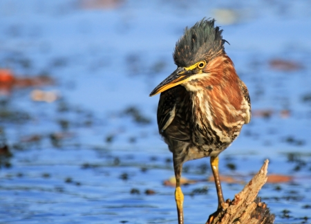 Green Heron hunting in a lake in Maryland during the summer photo