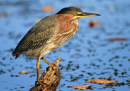 Green Heron hunting in a lake in Maryland during the summer