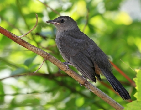 catbird: Young Gray Catbird perching on a branch in Maryland during the summer