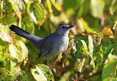 catbird: Adult Gray Catbird perching in a bush in Maryland during the summer Stock Photo