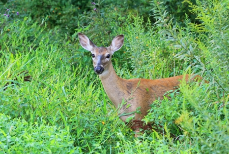 White tailed Deer doe standing in shady woodland in Maryland during the summer Stock Photo