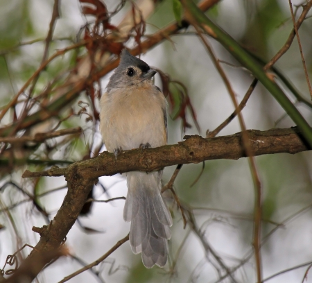 titmouse: Tufted Titmouse songbird perching in a tree in dense woodland in Maryland during the late summer Stock Photo