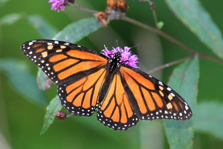 Monarch butterfly feeding on meadow wildflowers in Maryland during the summer