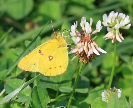 nectaring: Orange Sulphur butterfly feeding on meadow wildlfowers in Maryland during the summer