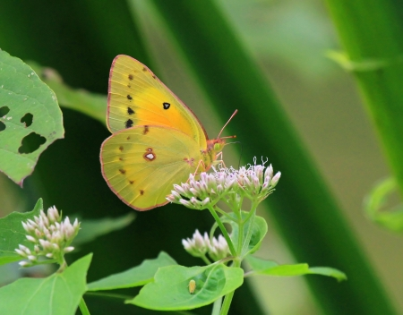 Orange Sulphur butterfly feeding on meadow wildlfowers in Maryland during the summer