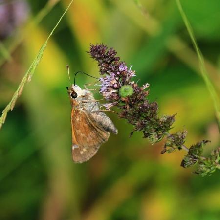 Sachem butterfly feeding on meadow wildlfowers in Maryland during the summer 版權商用圖片