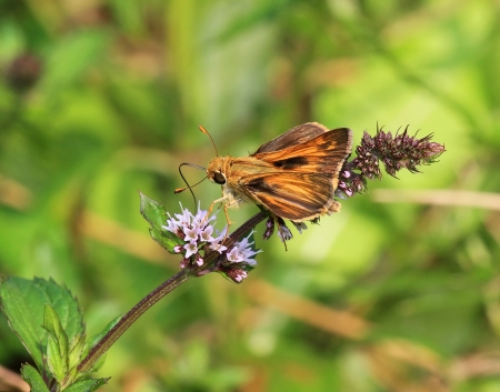 campestris: Sachem butterfly feeding on meadow wildlfowers in Maryland during the summer Stock Photo
