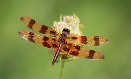 pruinose: Halloween Pennant dragonfly perching on a wildflower by lake in Maryland during the summer