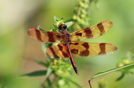 pruinescence: Halloween Pennant dragonfly perching on a wildflower by lake in Maryland during the summer