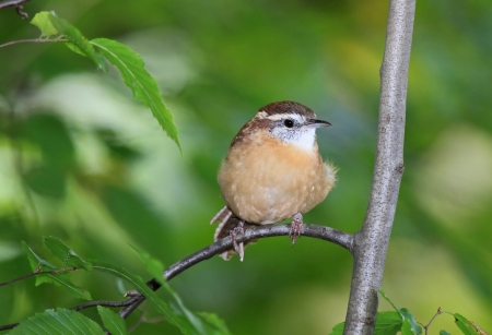 thryothorus: Carolina Wren perching on a branch in shady woodland in Maryland during the Autumn Stock Photo