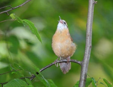 shady: Carolina Wren perching on a branch and singing in shady woodland in Maryland during the Autumn