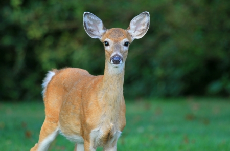 A young White-tailed Deer standing in shady woodland in Maryland during the Autumn photo