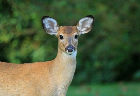 geyik: Sonbahar döneminde Maryland gölgeli ormanlık bir genç Beyaz kuyruklu geyik ayakta