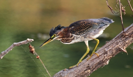 Green Heron walking on a log while hunting by a lake in Maryland during the summer photo