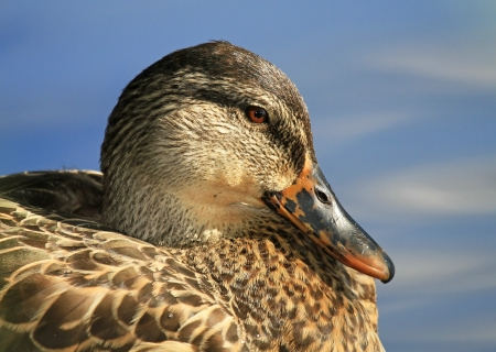 wetland conservation: Profile of a female Mallard duck resting by a lake in Maryland during the late summer Stock Photo
