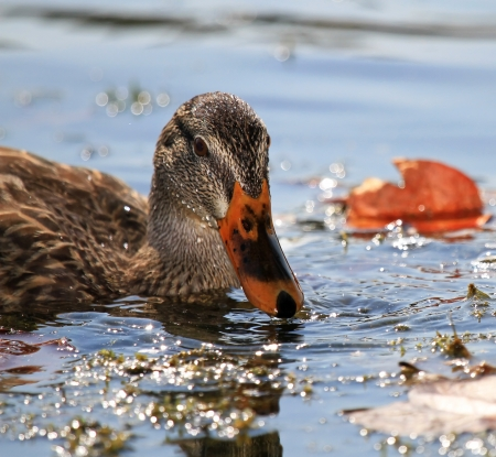 wildfowl: Female Mallard duck feeding and dabbling in a lake in Maryland during the Autumn Stock Photo