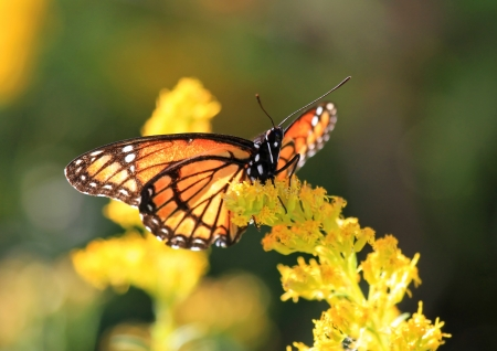 viceroy: Viceroy butterfly feeding on Goldenrod wildflowers in Maryland during the Autumn