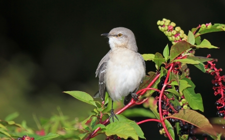 Northern Mockingbird perching on an American Pokeweed bush in Maryland during the Autumn photo
