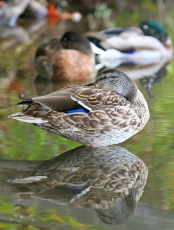 wetland conservation: Female Mallard duck sleeping in shady lake shallows in Maryland during the Autumn
