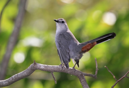 dumetella: Adult Gray Catbird with a cocked tail perching on a twig in Maryland during the Autumn