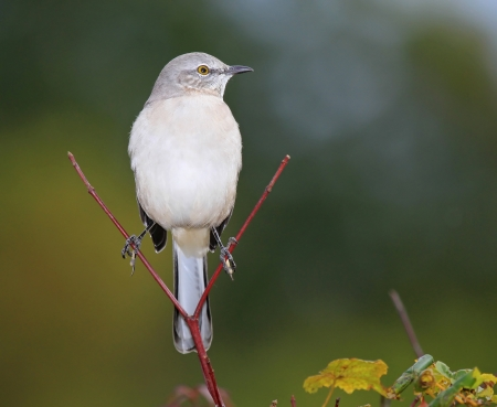 ruiseñor: Northern Mockingbird posado en una ramita en Maryland durante el otoño Foto de archivo