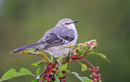 Northern Mockingbird perching on an American Pokeweed bush in Maryland during the Autumn