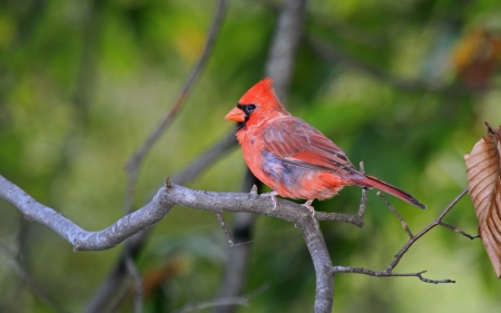 Male Northern Cardinal bird perching on a branch in shady woodland in Maryland during the late summer photo