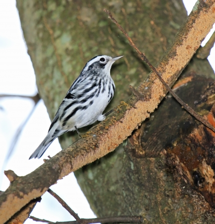 humbug: Black-and-White Warbler foraging through woodland trees in Maryland during the Autumn
