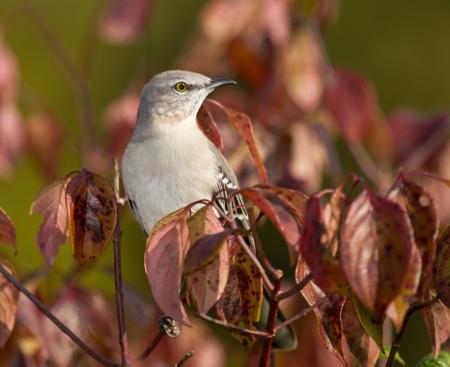 ruiseñor: Northern Mockingbird posado en un árbol en Maryland durante el otoño