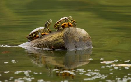 Deux Rouge-à oreilles Curseur tortues d'étang reposant sur une bûche dans le Maryland au cours de l'automne Banque d'images - 15636141