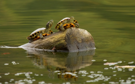 Two Red-eared Slider pond turtles resting on a log in Maryland during the Autumn