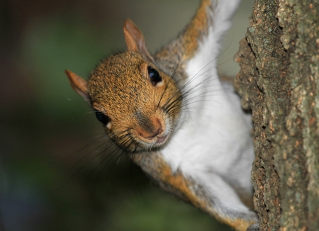 carolinensis: Closeup of an Eastern gray squirrel climbing a tree in Maryland during the Autumn