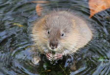 muskrat: Muskrat feeding on vegetation in a lake in Maryland during the Autumn Stock Photo