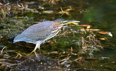 Green Heron hunting in a lake in Maryland during the Autumn photo