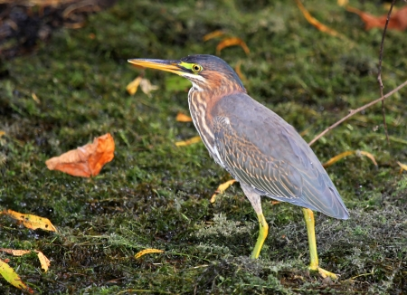 Green Heron walking on mossy vegetation by a lake in Maryland during the Autumn photo