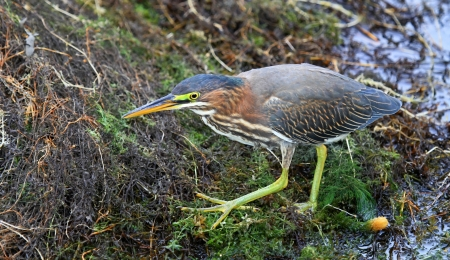 ardeidae: Green Heron hunting by a lake in Maryland during the Autumn
