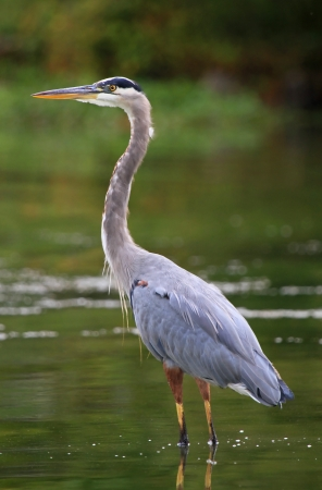 Great Blue Heron standing in a lake while hunting in Maryland during the Autumn