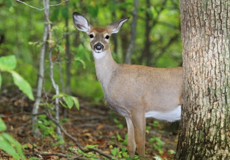 A young White-tailed Deer standing in shady woodland in Maryland during the Autumn