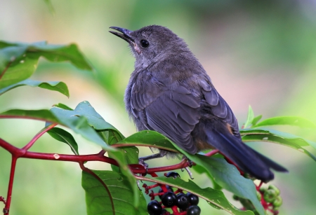 catbird: Adult Gray Catbird perching in a Pokeweed bush in Maryland during the Summer